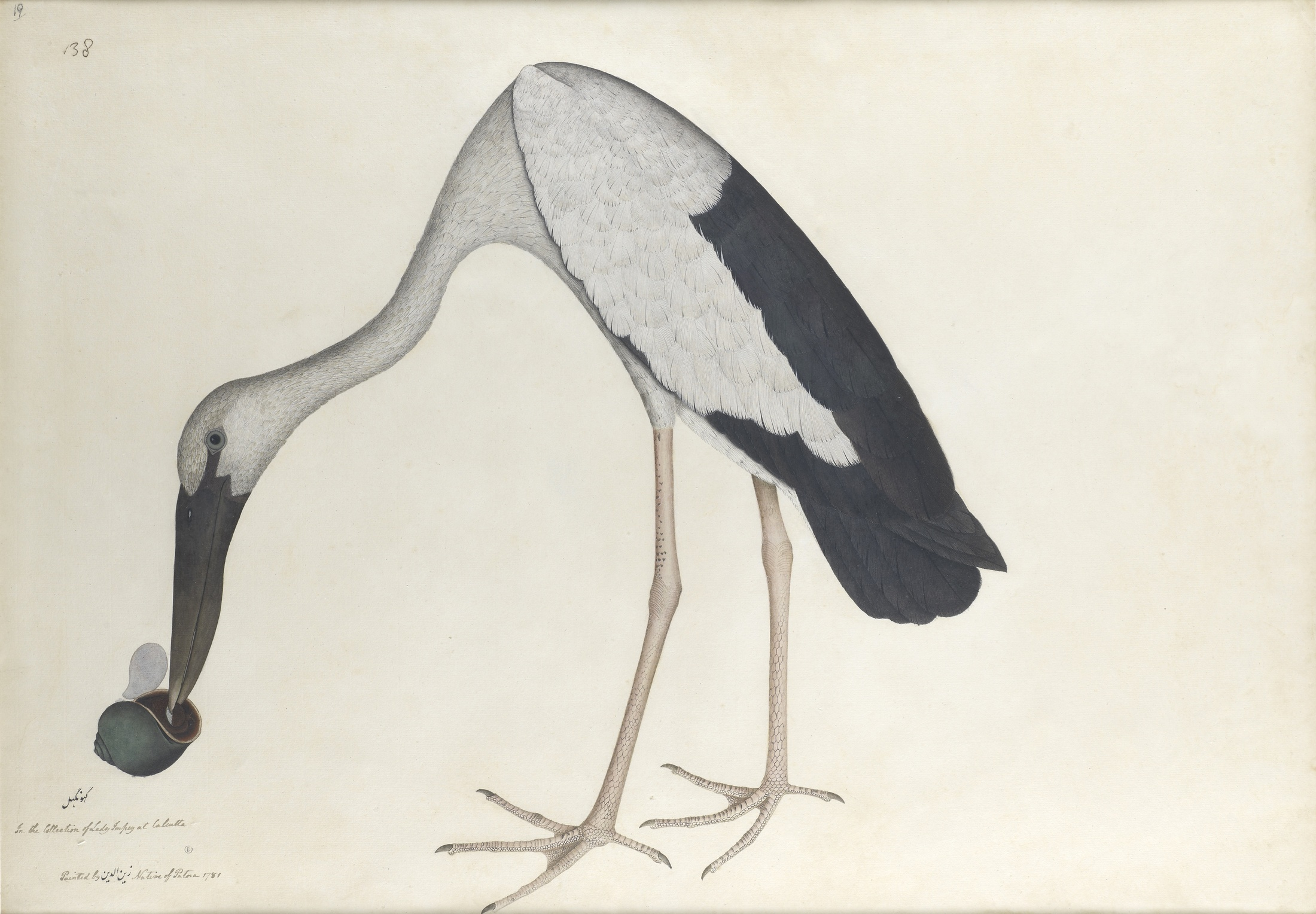 The Asian Openbill Stork   'Anastomus oscitans'